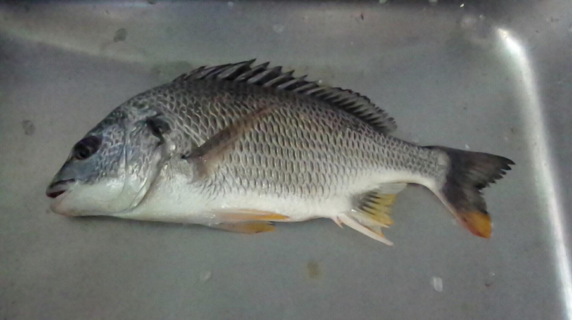 珍しいことに各所でキビレが釣れる(°▽°)サムネイル