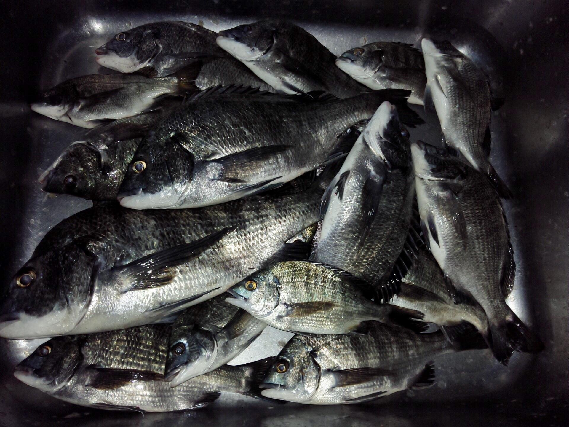 午後から40㎝級の大物クロダイが釣れた(^-^)vサムネイル