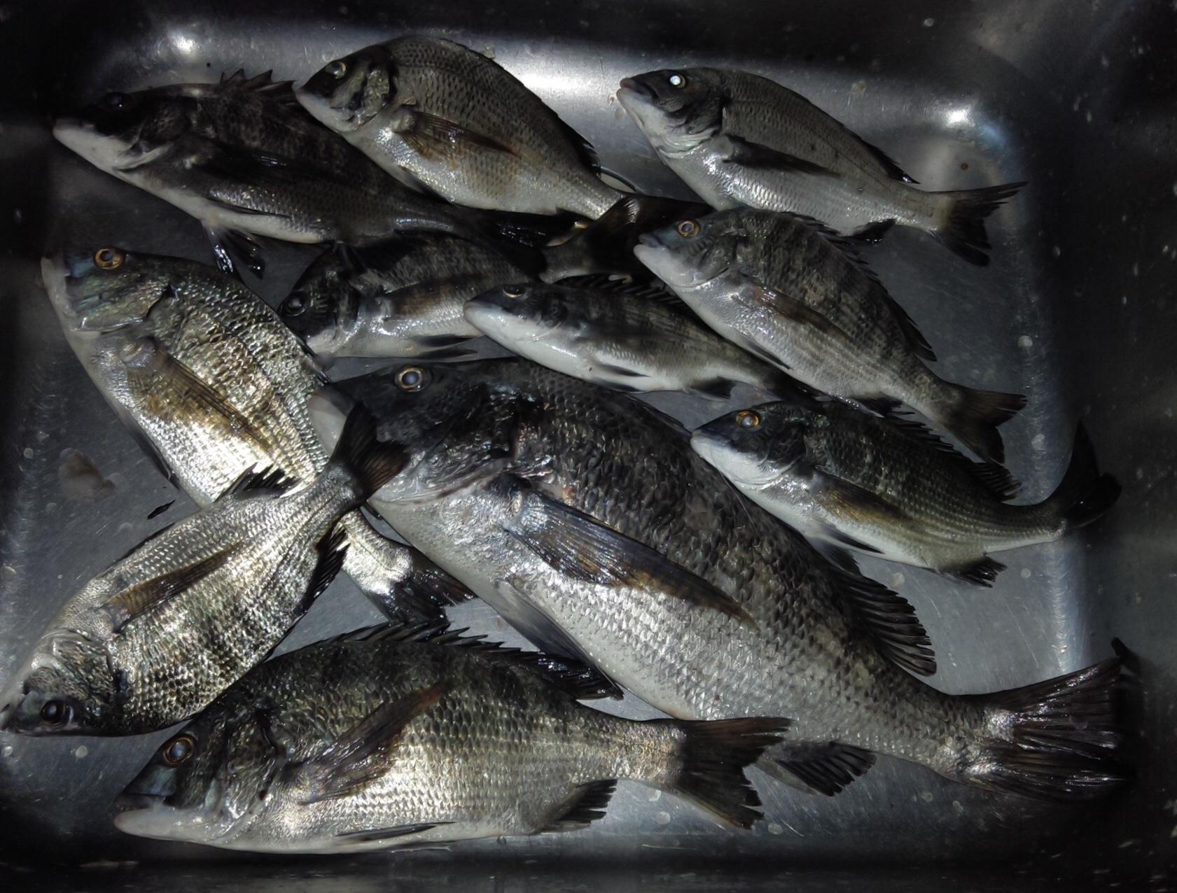 カイズクラス主体な中で午後から40㎝後半の大物が釣れましたよ(^^)サムネイル