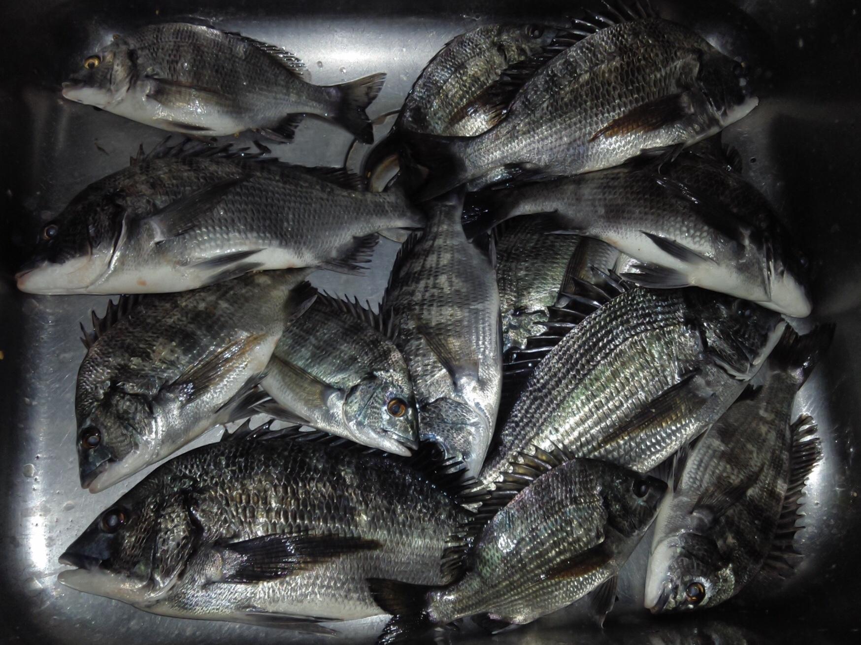 貯木場でカイズの数釣り、40㎝級の大物も釣れる‼️サムネイル