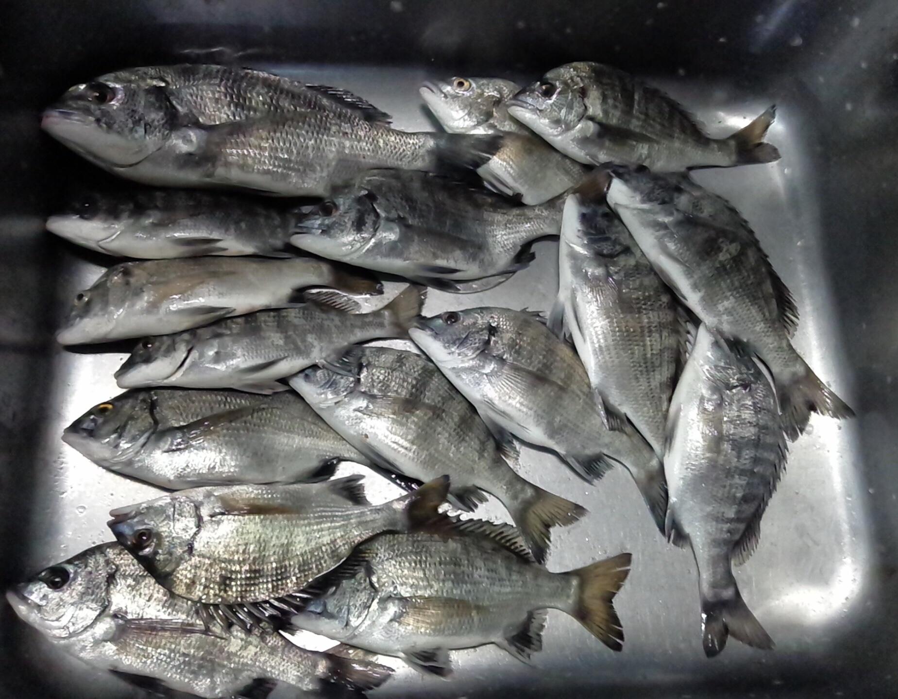 貯木場でカイズクラス好漁❗️サムネイル