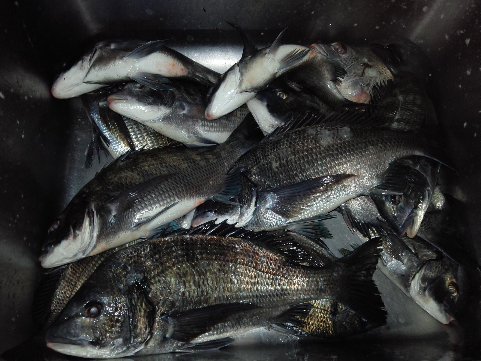 一文字堤で二桁釣果達成、40㎝級の大物含む大釣り‼️サムネイル