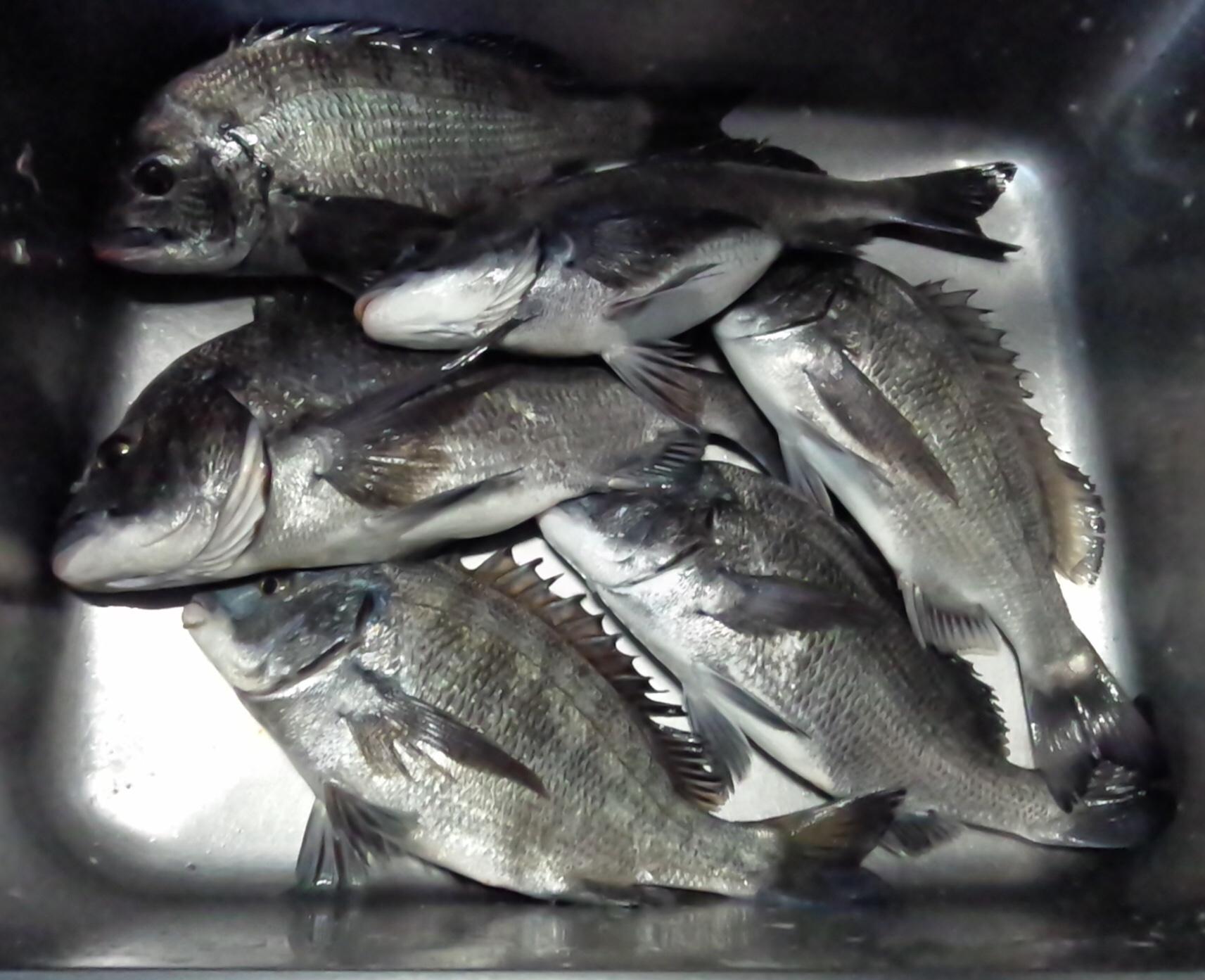一文字堤で40㎝前後多数含む大釣り‼️サムネイル