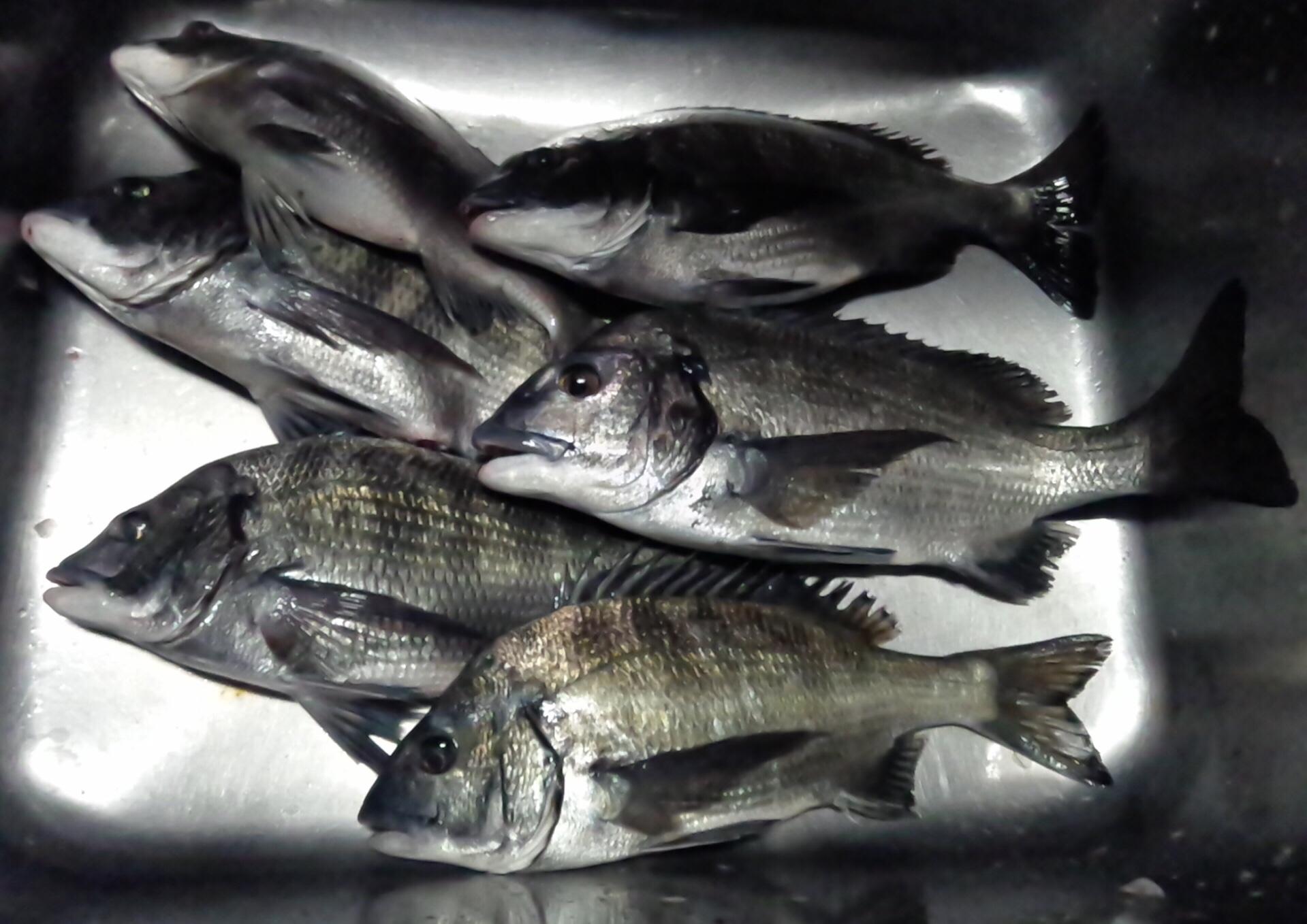 一文字堤でクロダイ好漁‼️サムネイル