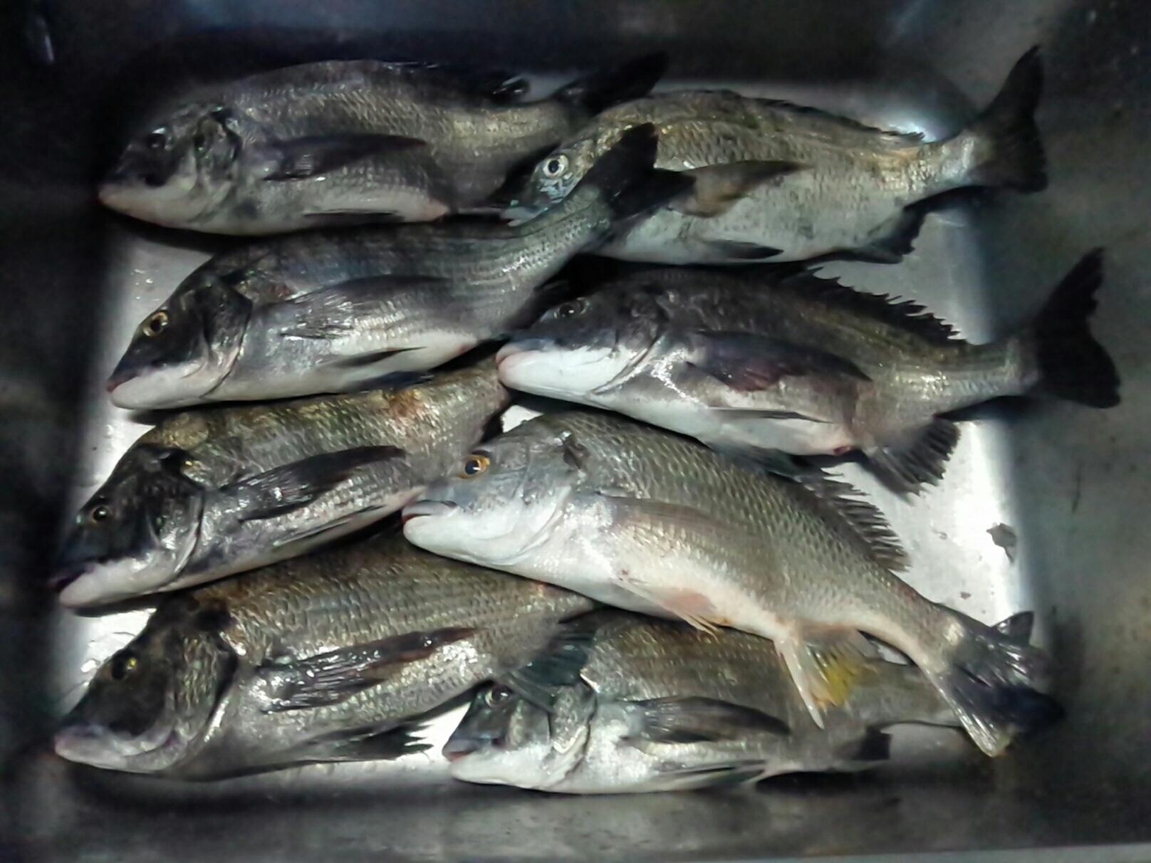 深場でクロダイ好漁((o(^∇^)o))サムネイル