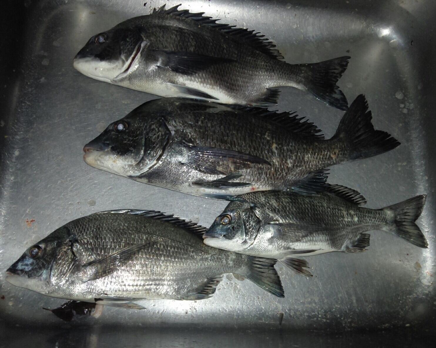 折戸湾で40㎝級の大物釣れる(^^)vサムネイル
