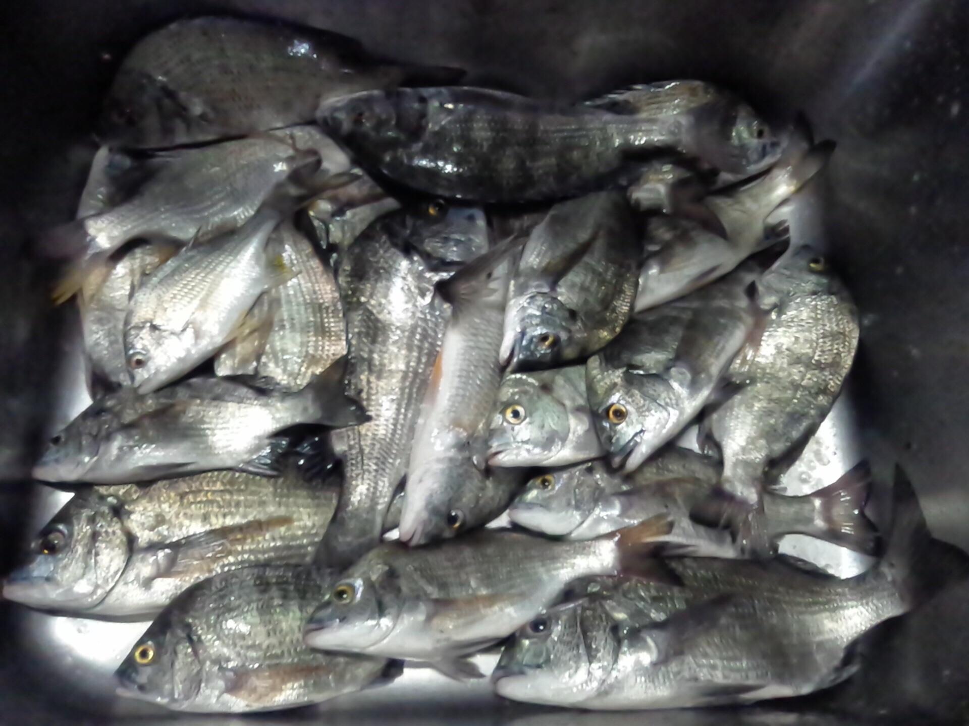 カイズクラス主体で好漁(^_−)−☆サムネイル