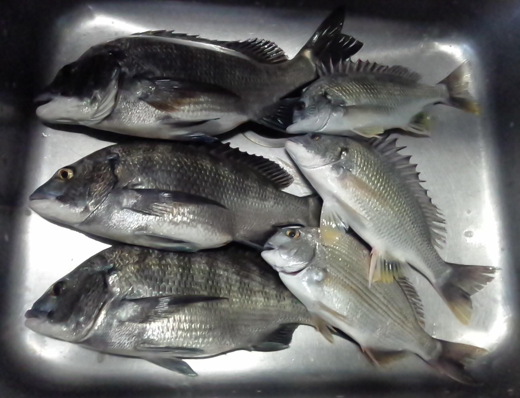 一文字堤でクロダイ、キビレ好漁(^^)サムネイル