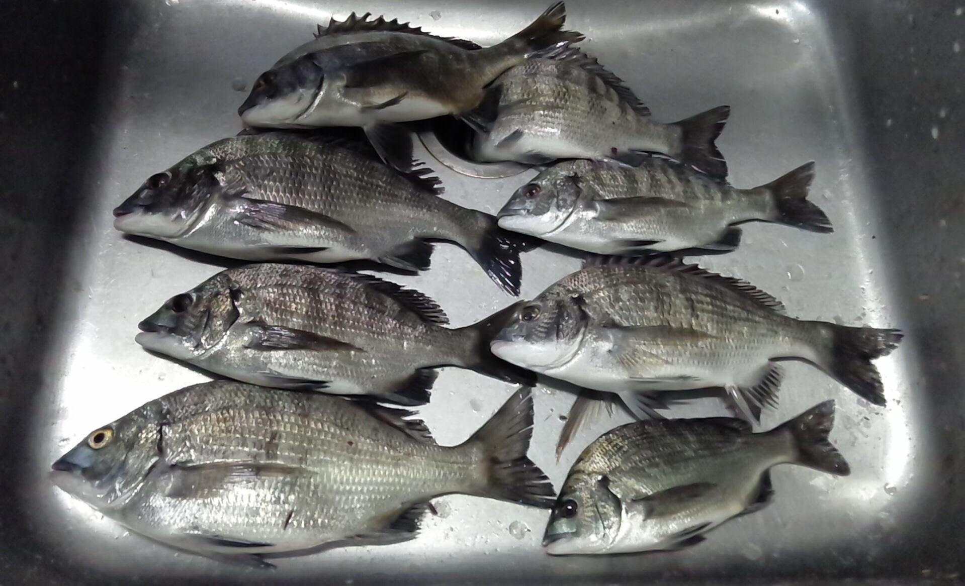 貯木場でカイズクラス好漁(^^)サムネイル
