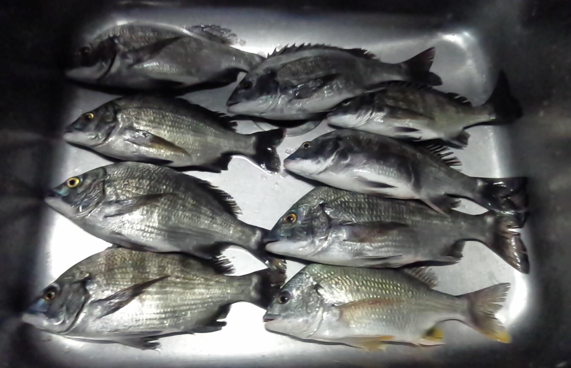 折戸でカイズクラス好漁(^o^)/サムネイル