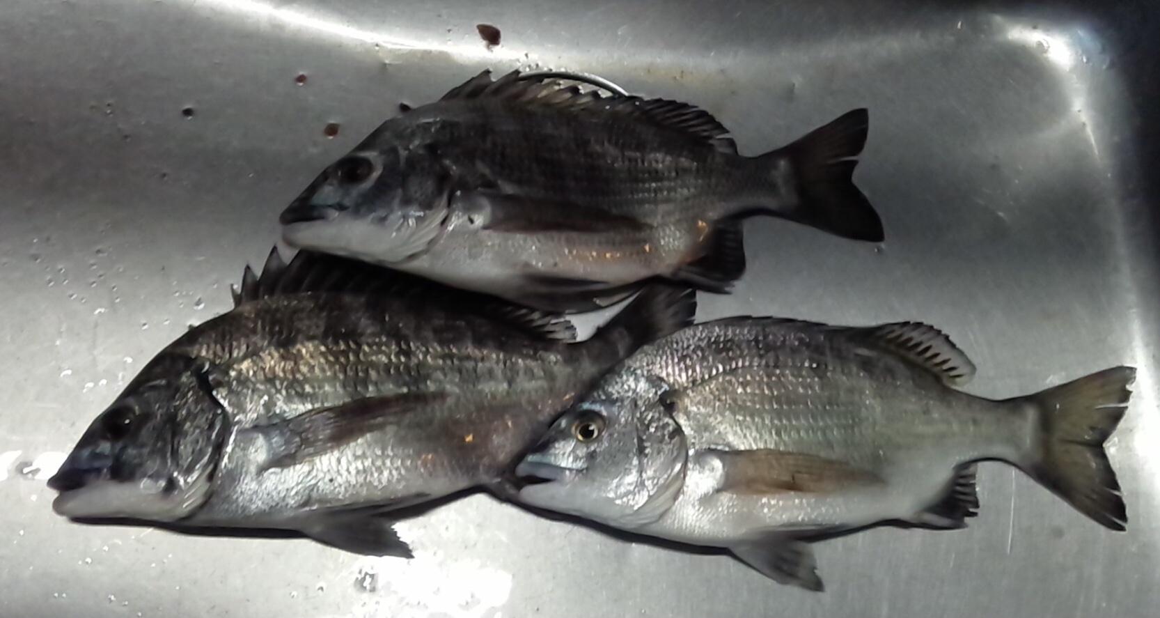 本日アブレ無し❗️貯木場で40㎝級大物釣れる‼️サムネイル