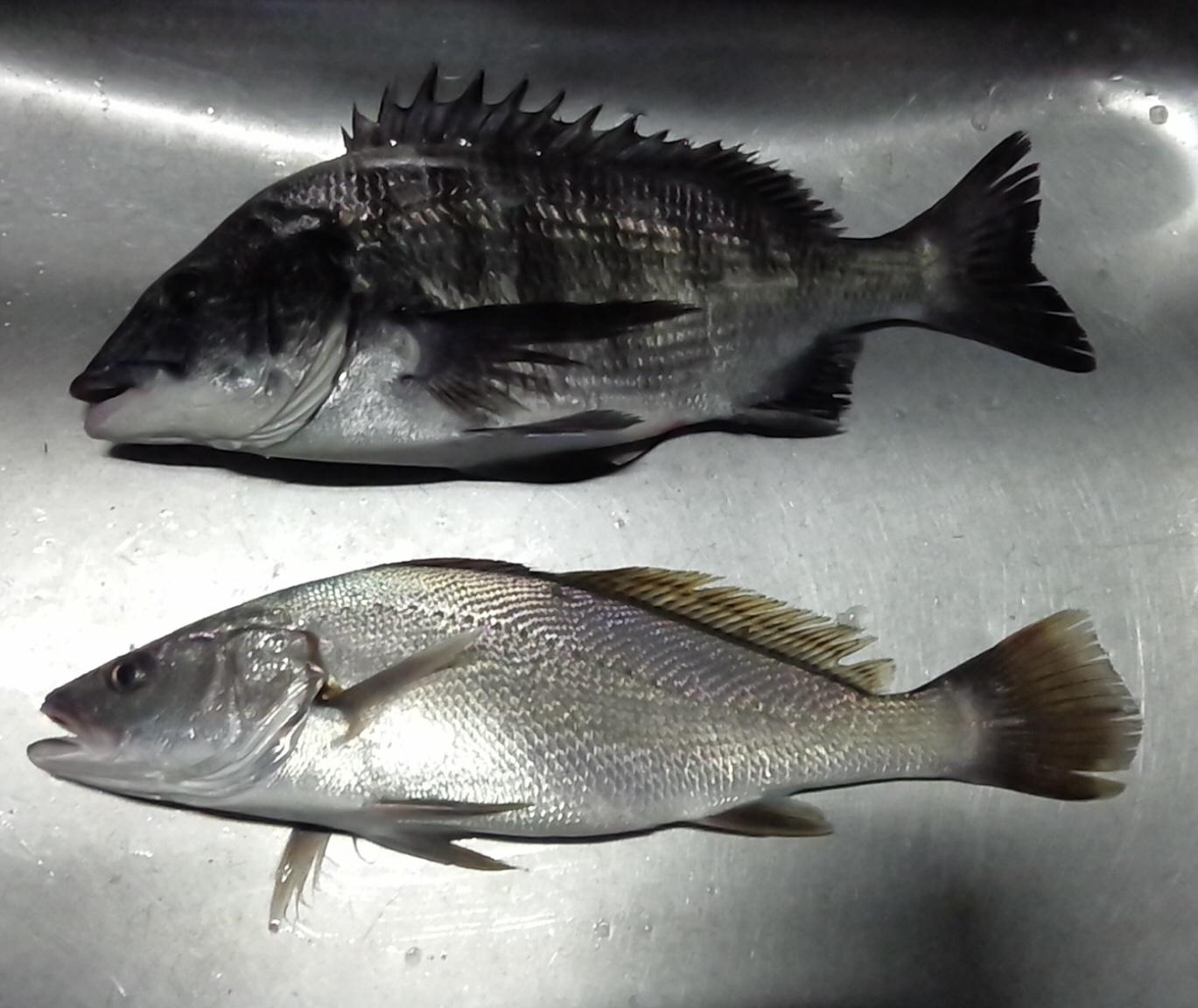 釣れたクロダイは僅か1尾のみʅ(◞‿◟)ʃサムネイル