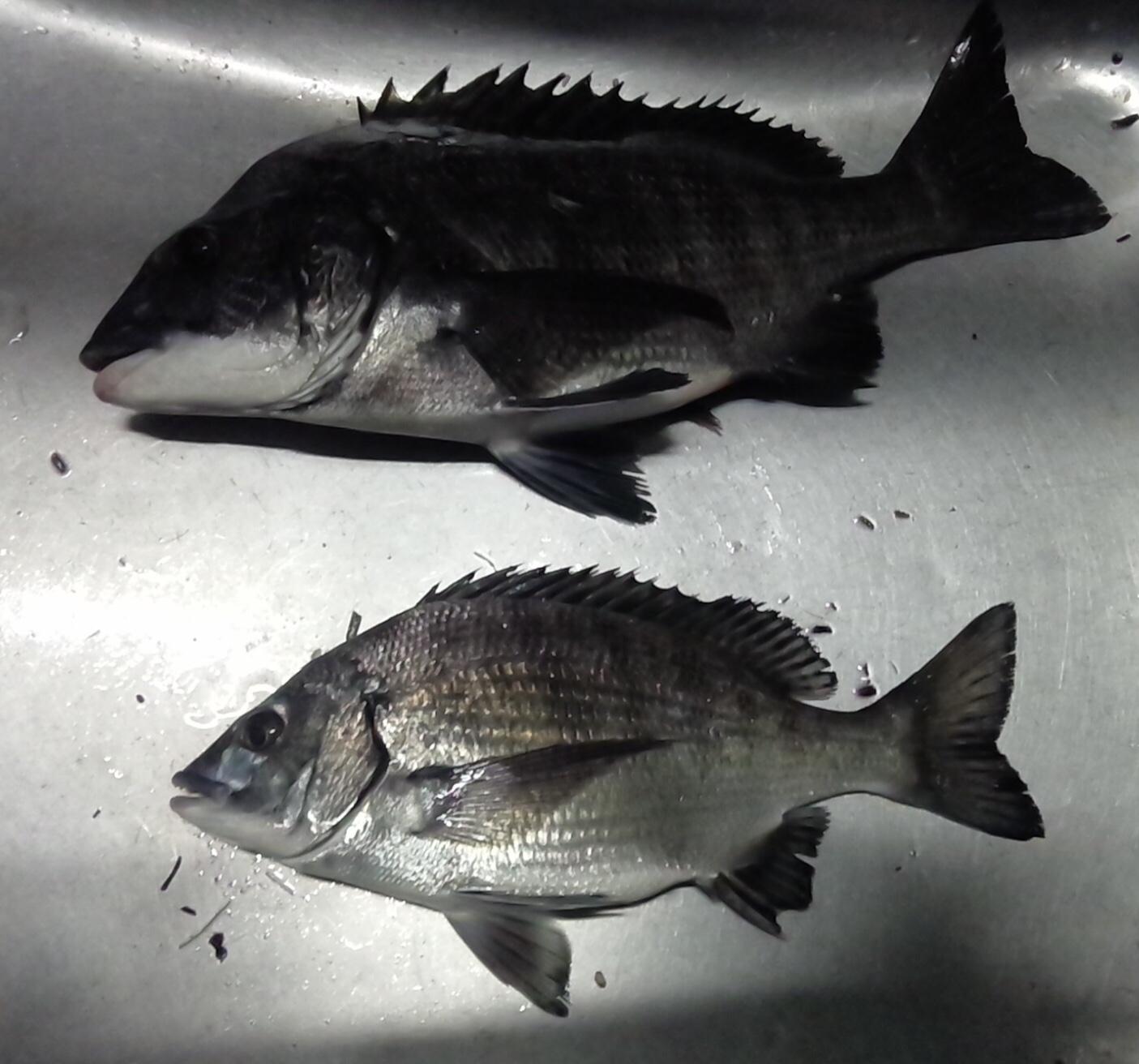 貯木場で40㎝の大物釣れる(^^)サムネイル