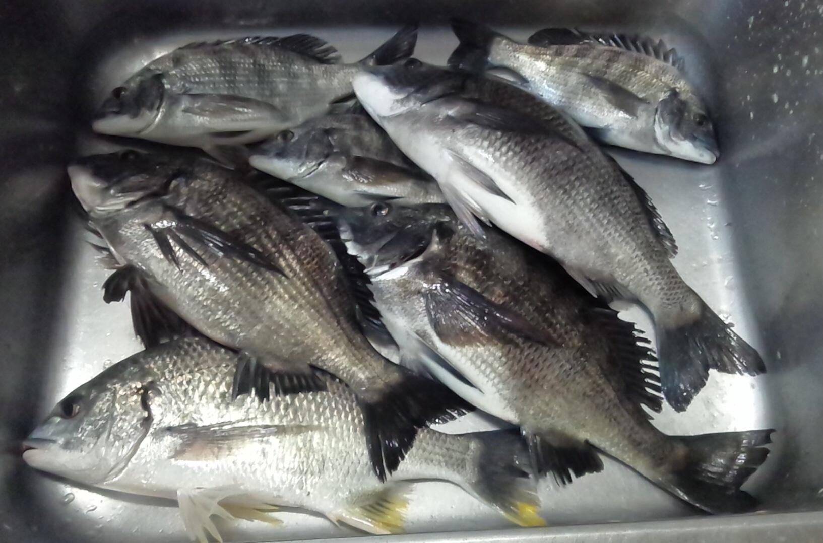 今日は午前中だけ調子よくクロダイが釣れました(^^)サムネイル