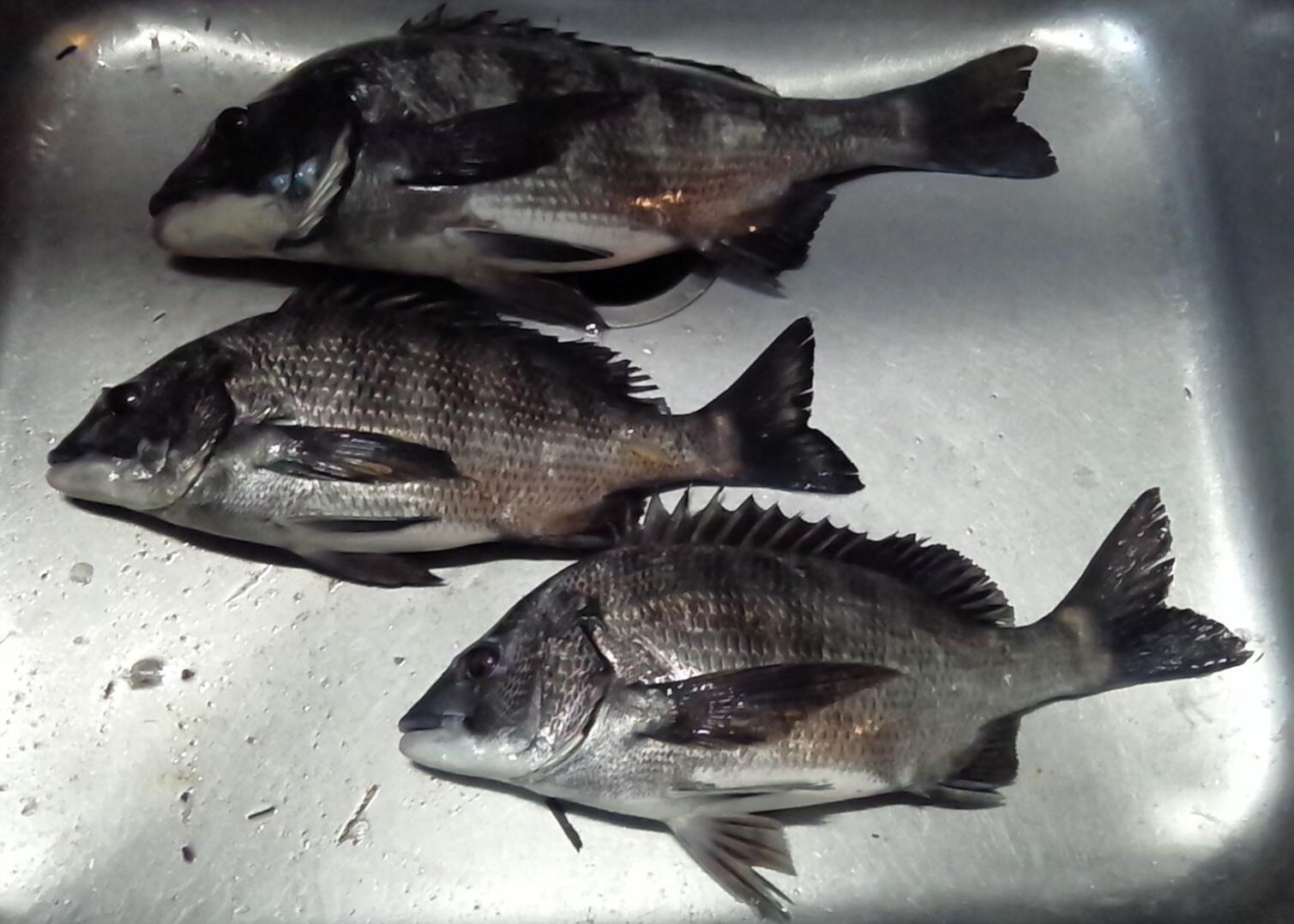 午後からクロダイ釣れる(^^)/サムネイル