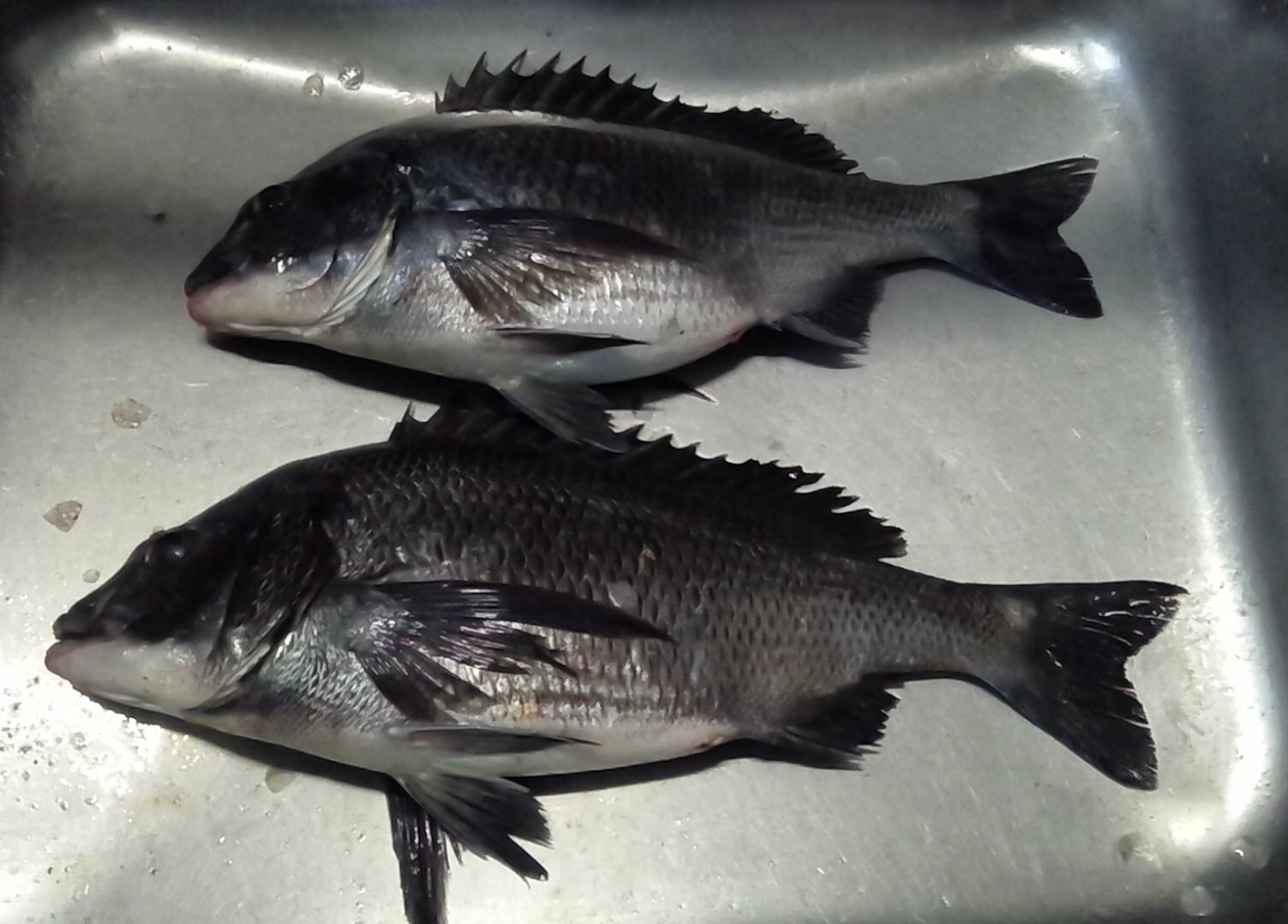 一文字堤で40㎝級の大物、午前と午後で釣れる٩( 'ω' )وサムネイル