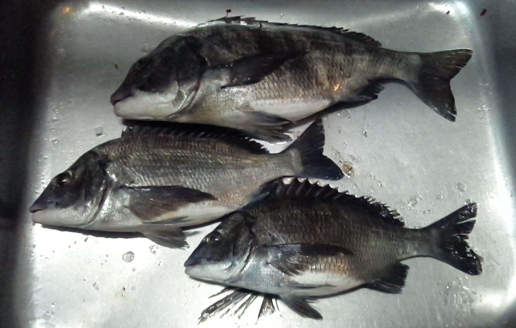 今日は離岸堤で40㎝級の大物が釣れた(^O^☆♪サムネイル