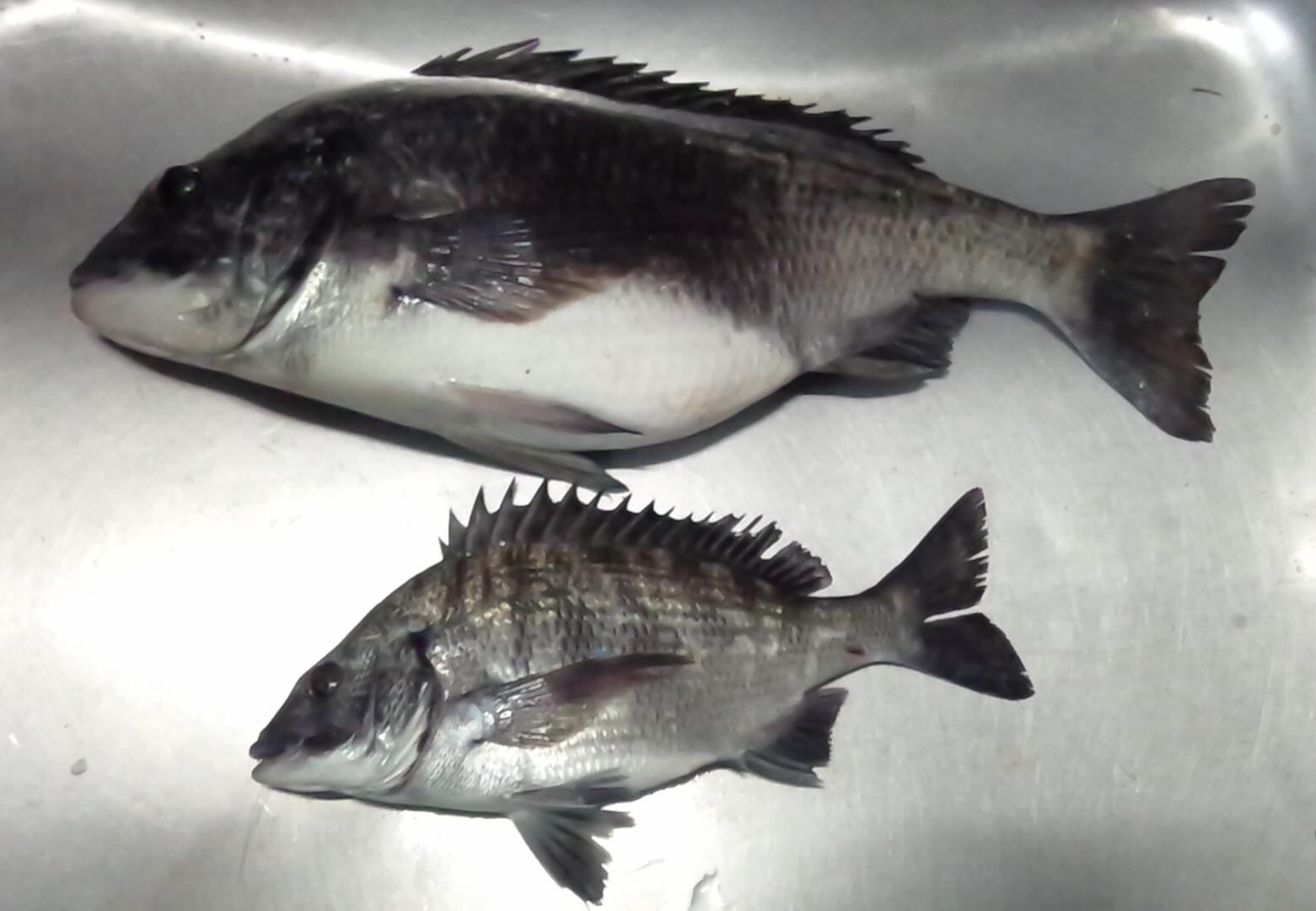 折戸でお腹ぷっくりとした大物釣れる(^^)vサムネイル