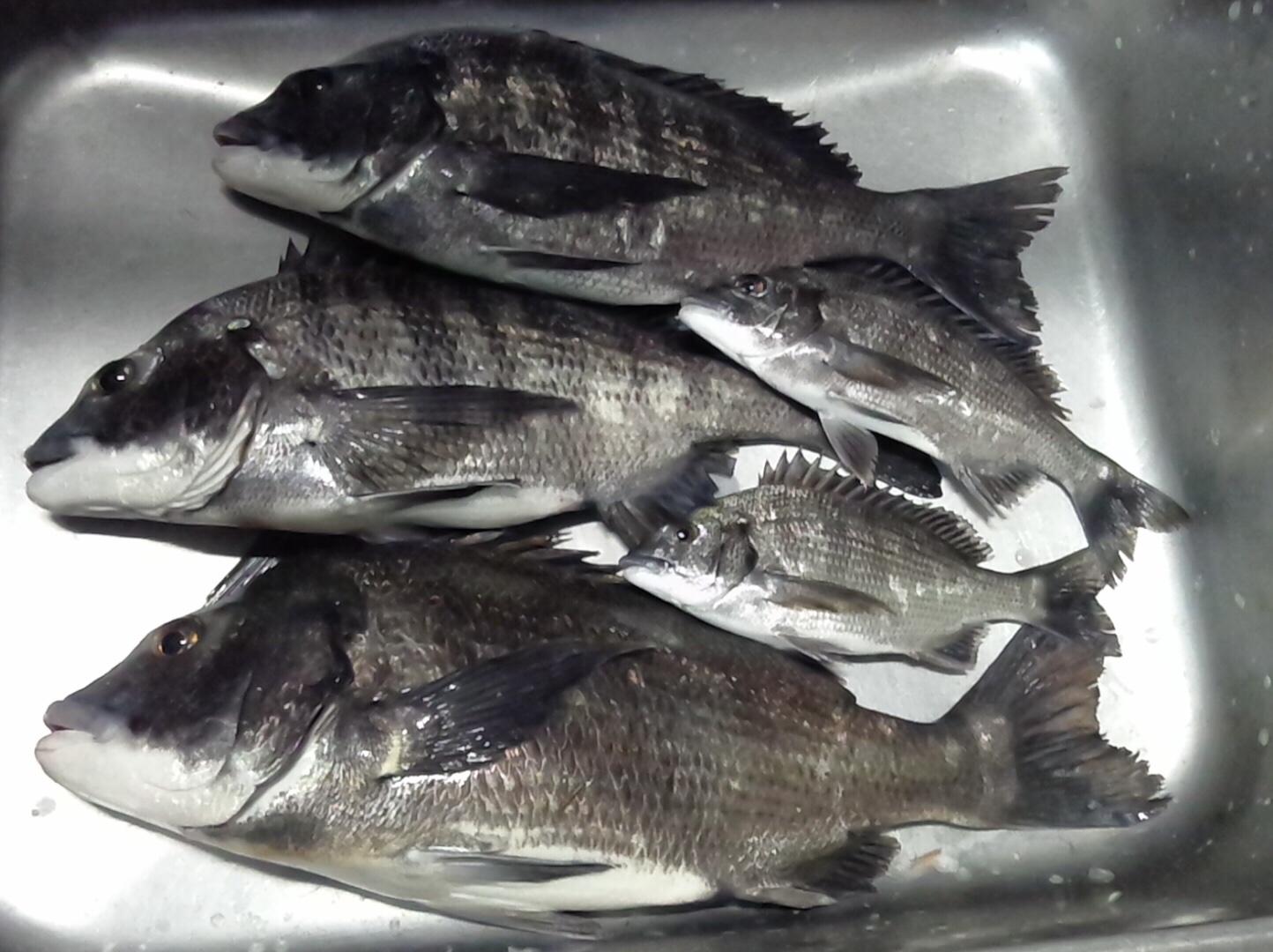 折戸で大物クロダイ釣れる٩(^‿^)۶サムネイル