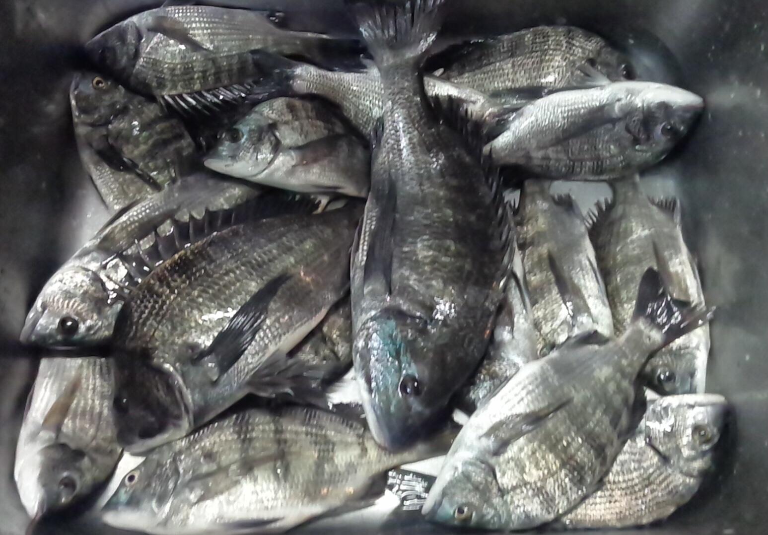 折戸でカイズクラス主体で好漁٩(^‿^)۶サムネイル