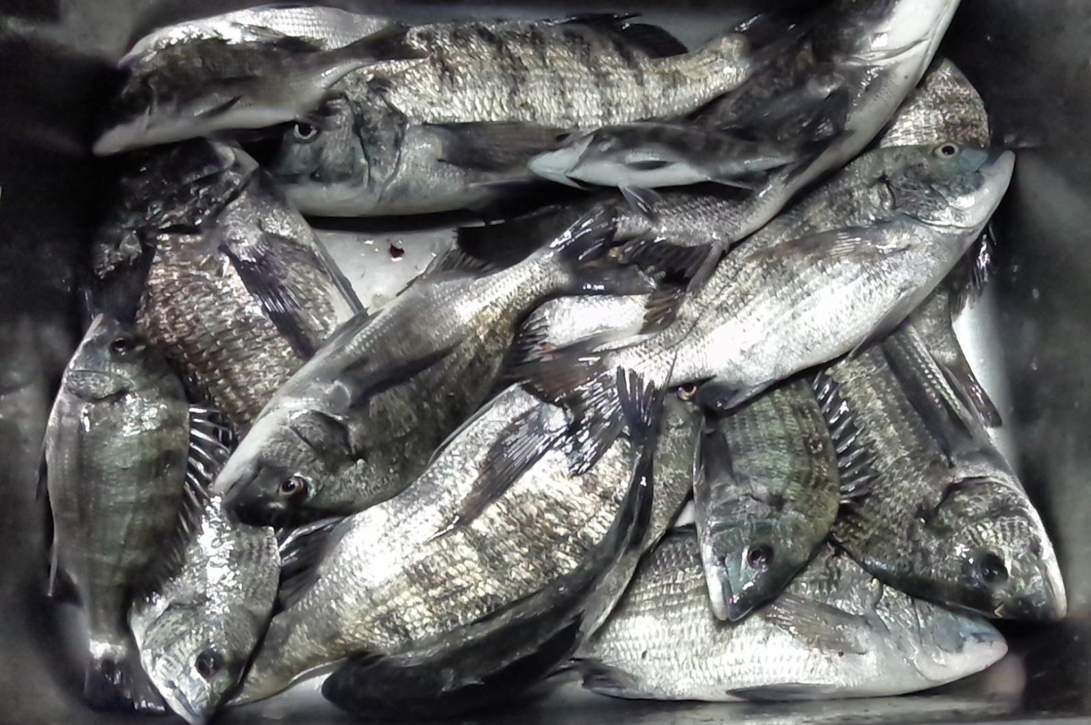 各所で40㎝級の大物釣れる٩(^‿^)۶サムネイル