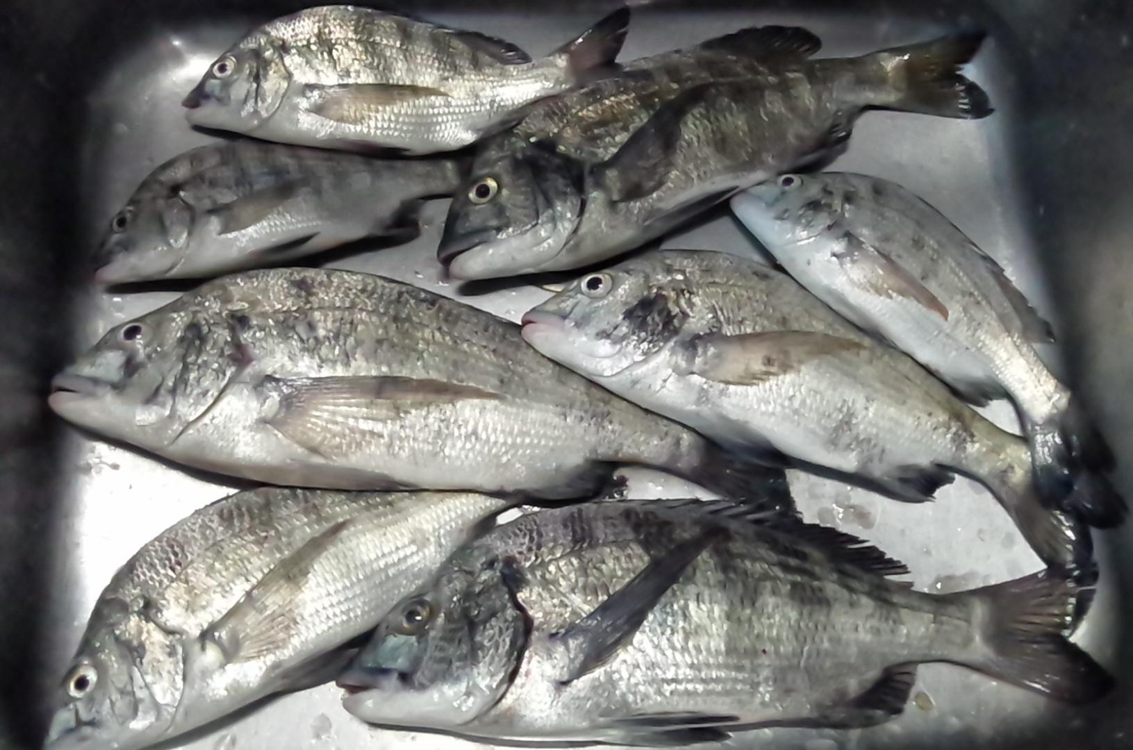 連日折戸で好漁(^^)サムネイル