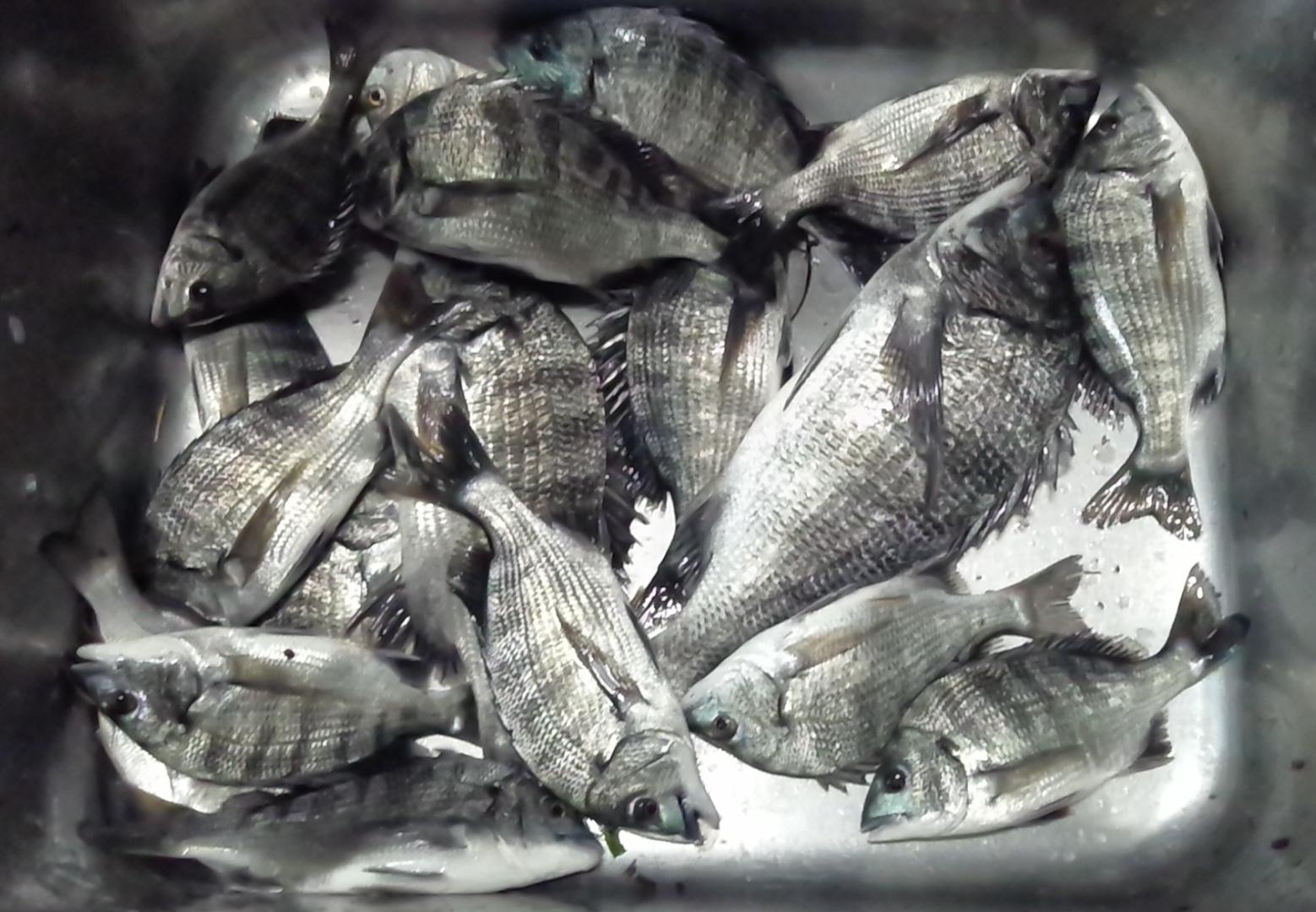 折戸で今日も好漁(^^)サムネイル